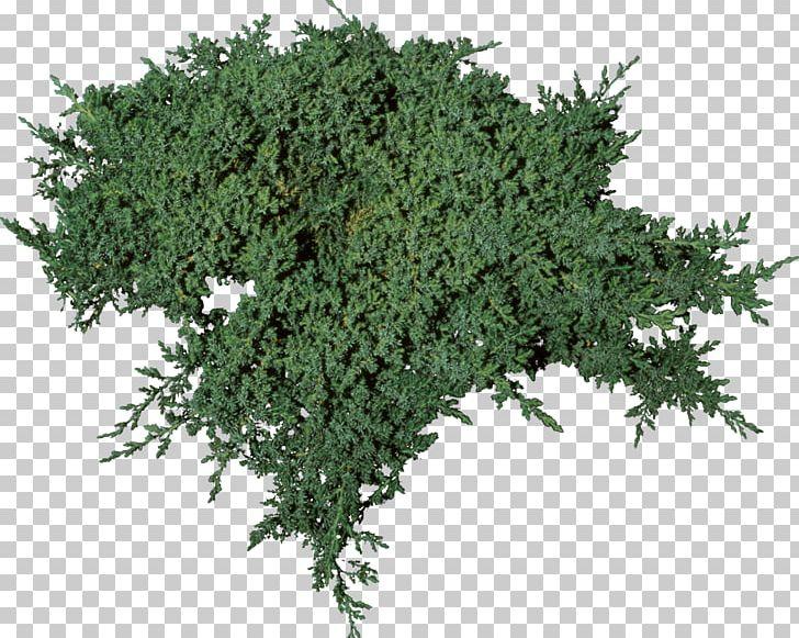 Tree Elm Plant Autumn Leaf Color Bonsai PNG, Clipart, Autumn Leaf Color, Bonsai, Bushes, Cypress Family, Elm Free PNG Download