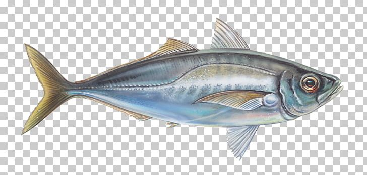Thunnus Mackerel Sardine Fish Products Oily Fish PNG, Clipart, Animal, Animal Figure, Animals, Biology, Bonito Free PNG Download