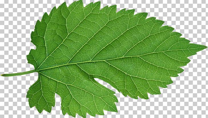Autumn Leaf Color Desktop PNG, Clipart, Autumn Leaf Color, Bladnerv, Desktop Wallpaper, Grape Leaves, Green Free PNG Download