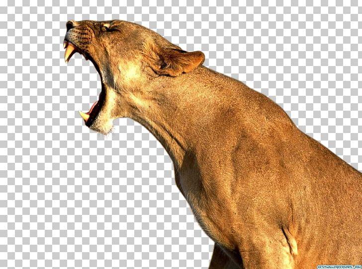 Lionhead Rabbit Desktop PNG, Clipart, Animal, Animals, Big