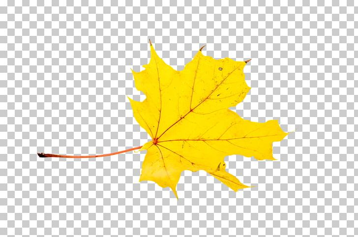 Maple Leaf Autumn Leaf Color PNG, Clipart, Autumn, Autumn Leaf Color, Autumn Leaves, Color, Download Free PNG Download