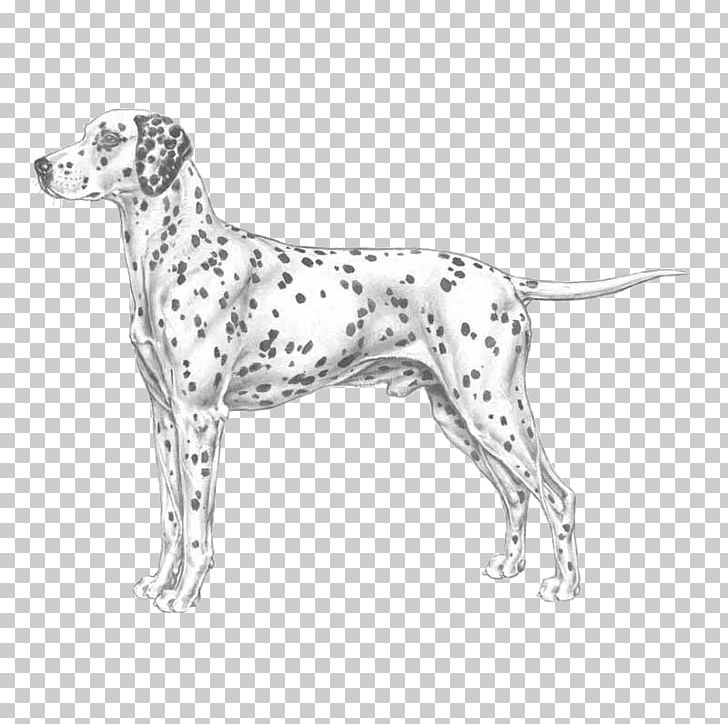 Auvergne Pointer Dalmatian Dog Old Danish Pointer Dog Breed PNG, Clipart, Black And White, Brac, Braque D Auvergne, Breed, Carnivoran Free PNG Download