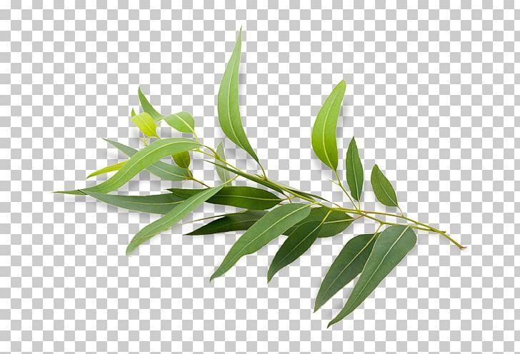 Eucalyptus Radiata Eucalyptus Polybractea Eucalyptus Oil Essential Oil PNG, Clipart, Antimicrobial, Antiseptic, Bark, Branch, Essential Oil Free PNG Download