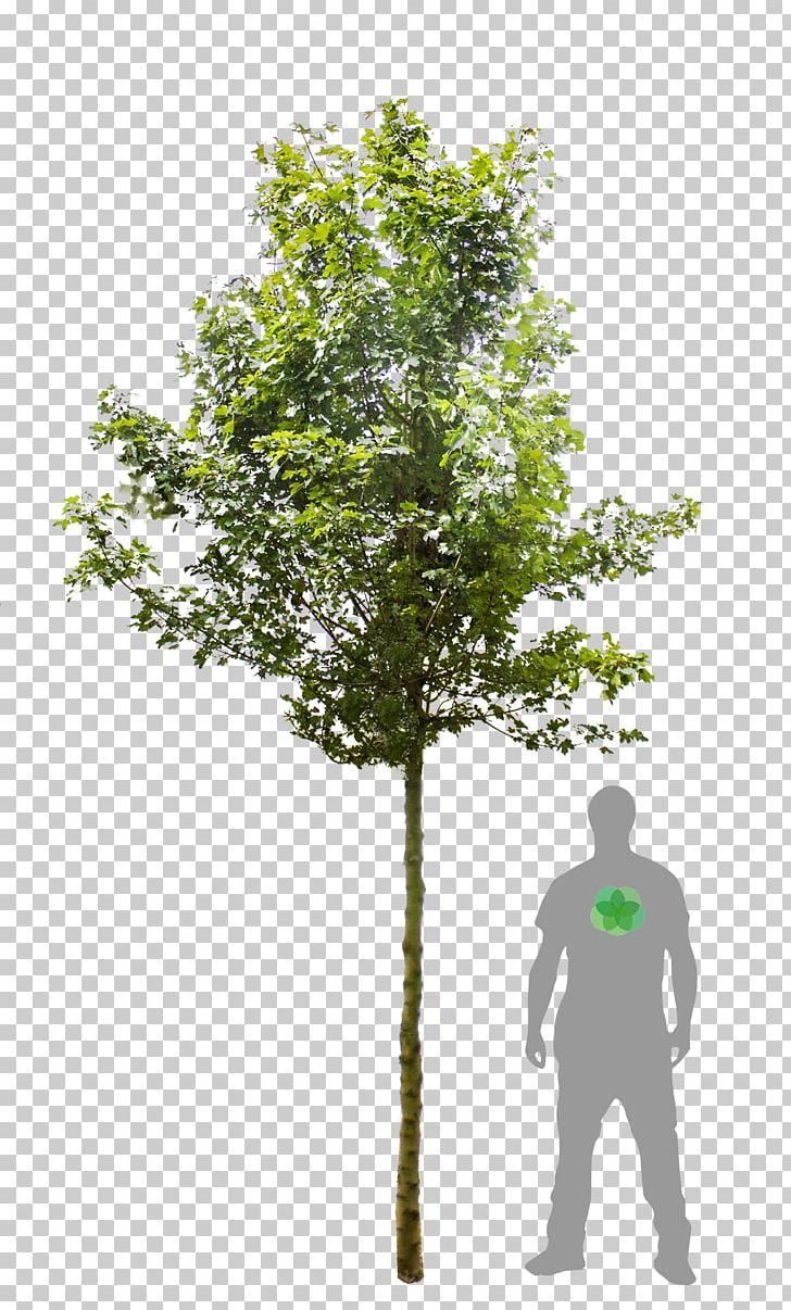 Tree Acer Campestre Elsrijk Acer Campestre Carnival Woody Plant