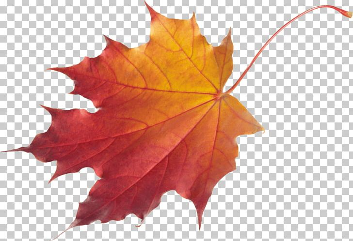 Autumn Leaf Color Red Maple PNG, Clipart, Autumn, Autumn Leaf Color, Autumn Leaves, Cleaneating, Cleanliving Free PNG Download