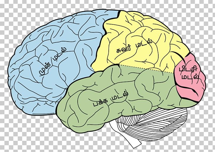 Lobes Of The Brain Parietal Lobe Frontal Lobe Temporal Lobe PNG, Clipart, Anatomy, Area, Brain, Cerebral Cortex, Cerebral Hemisphere Free PNG Download