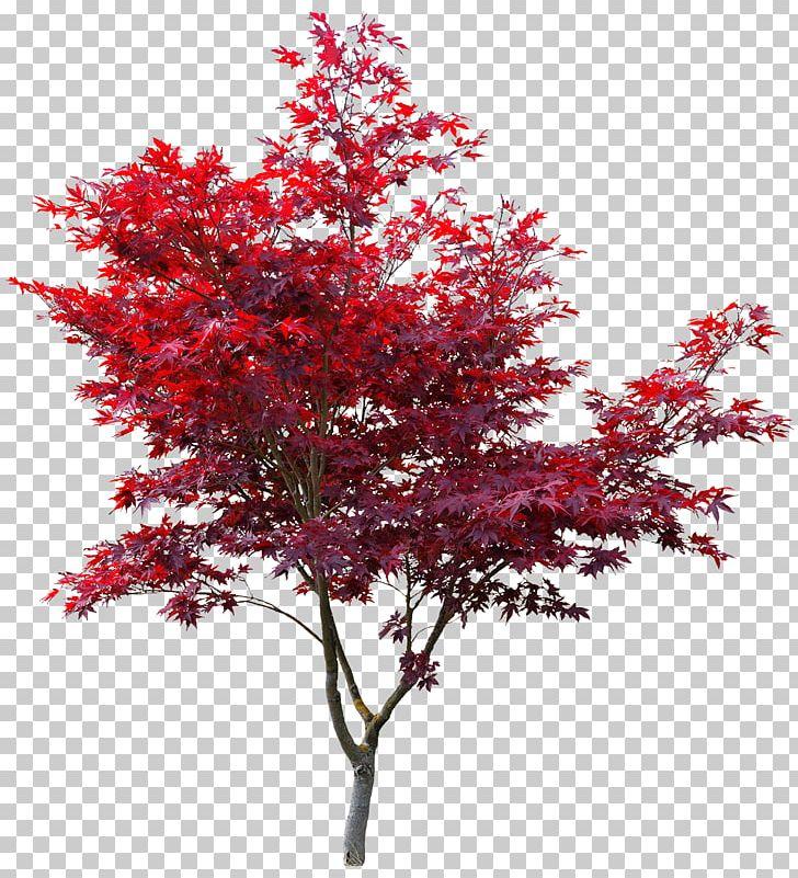 Japanese Maple Red Maple Autumn Leaf Color Maple Leaf Acer Japonicum PNG, Clipart, Acer Japonicum, Autumn, Autumn Leaf Color, Branch, Color Free PNG Download
