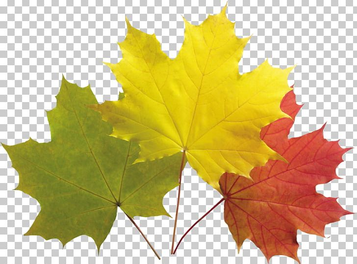 Autumn Leaf Color Maple Leaf PNG, Clipart, Autumn, Autumn Leaf Color, Color, Desktop Wallpaper, Grape Leaves Free PNG Download