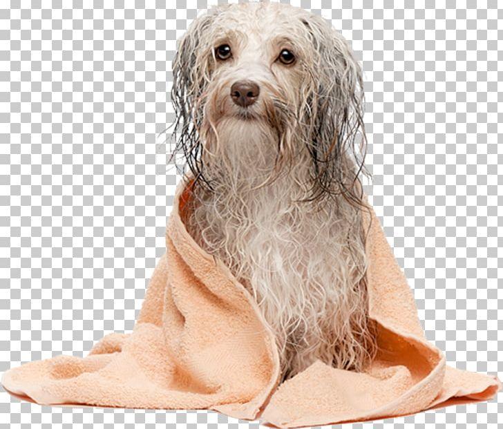 Havanese Dog Dog Grooming Maltese Dog Cat Pet PNG, Clipart, Animals, Bark, Bearded Collie, Carnivoran, Cat Free PNG Download